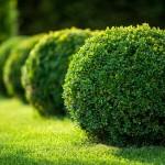 végétaux - Buxus au feuillage persistant